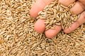 Rye cereal grain. Person with grains in hand. Macro. Whole food.