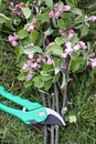 Secateurs with apple branches Stock Photography