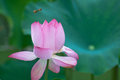 Secret of bee and lotus beauatiful bud bud blossom Stock Photography