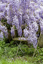 Secret garden with wysteria and chair Stock Photography