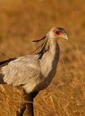 The Secretary Bird Stock Photography