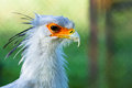 Secretary bird a gorgeous head shot of a Stock Photos