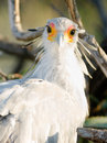 Secretary bird looks back large raptor animal wildlife called with the sun in his eye Royalty Free Stock Photos
