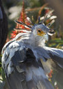 A secretary bird portrait with beatiful plumage beautiful back lit Royalty Free Stock Photography