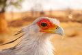 Secretary bird portrait close up of a sagittarius serpentarius Royalty Free Stock Photography