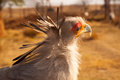 Secretary bird portrait close up of a sagittarius serpentarius Stock Images