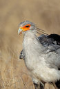 Secretary bird portrait of a sagittarius serpentarius kalahari south africa Stock Image