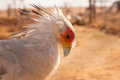 Secretary bird portrait with spread crest close up of a a splayed sagittarius serpentarius Stock Photos