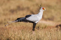 Secretary bird (Sagittarius Serpentarius) close up, Africa Royalty Free Stock Photo