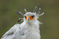 Secretary Bird, Sagittarius serpentarius, portrait of nice grey bird of prey with orange face, Botswana, Africa Royalty Free Stock Photo