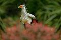 Secretary Bird, Sagittarius serpentarius, Portrait of nice grey bird of prey with orange face, Botswana, Africa. Wildlife scene fr Royalty Free Stock Photo
