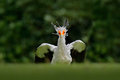 Secretary Bird, Sagittarius serpentarius, Portrait of nice grey bird of prey with orange face, Kenya, Africa. Wildlife scene from Royalty Free Stock Photo