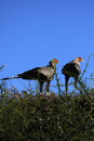 Secretary Birds Stock Photos