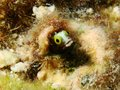 Secretary blenny macro portrait of Royalty Free Stock Photos
