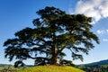 Secular cedar of La Morra Royalty Free Stock Photo