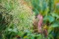 Sedge flower close up of cyperus imbricatus Royalty Free Stock Image