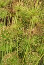 Sedge flowers close up of Royalty Free Stock Image