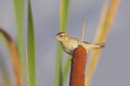 Sedge warbler acrocephalus schoenobaenus on a reed stem Stock Images