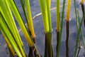 The sedge in water Stock Images