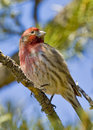 Sedona House Finch Watching Stock Photos