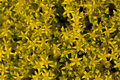 Sedum acre yellow little flower as background Stock Photos