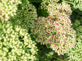Sedum Autumn Joy flower Royalty Free Stock Photo