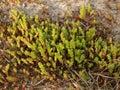 Sedum caustic sedum acre l grows on sand Royalty Free Stock Photo
