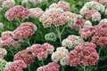 Sedum flowers in garden for background use Royalty Free Stock Photo