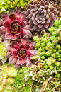 Sedum plants used for green roof applications and sempervivium suitable Royalty Free Stock Image