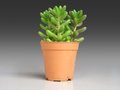 Sedum rubrotinctum and commonly known as the jelly bean plant. Royalty Free Stock Photo