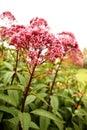 Sedum ruby glow in the garden close up Stock Photo