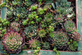 Sedum or sempervivum plants for dry planting use in green roof projects Royalty Free Stock Photos