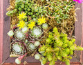 Sedum or sempervivum plants planted in a container planting of and Stock Photo