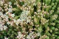 Sedum or Stonecrop hardy succulent ground cover perennial plants with succulent leaves and fleshy stems with flowers starting to Royalty Free Stock Photo