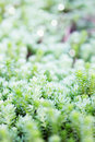 Sedum succulent unpretentious evergreen ground cover plant Royalty Free Stock Photos