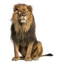 Seduta del leone distogliente lo sguardo panthera leo anni Fotografie Stock Libere da Diritti