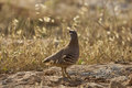 See see partridge ammoperdix griseogularis on the rock Stock Photos