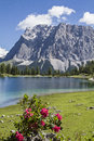 Seebensee amd alpine rose lake and flowers in front of zugspitze in tyrol Royalty Free Stock Image