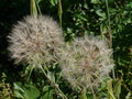 Seed balls of a meadow goat s beard the seeds salsify tragopogon pratensis or showy or jack go to bed at noon is plant in the Stock Image