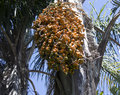 Seed bunch hanging from cocos palm is ripe and ready to fall ensuring the propagation of the species Stock Photos