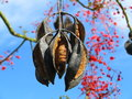 Seed capsules on flame tree hanging a native to australia set against the blue sky with its flowering branches in the background Royalty Free Stock Photography