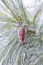 Seed cone encased in ice an evergreen tree of pine or spruce with close up on the end with the needles and covered after a Royalty Free Stock Photo