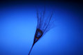 The seed of a dandelion with water drop inside on a dark blue background Royalty Free Stock Photo