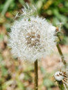 Seed head of taraxacum blowball close up Royalty Free Stock Image