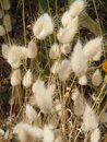 Seed heads of Bunny Tail grass Royalty Free Stock Photo