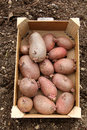 Seed potatoes before him plant Royalty Free Stock Photos
