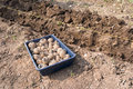 Seed potatoes tray of next to a newly dug trench Stock Photo