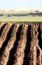 Seed rows Royalty Free Stock Images