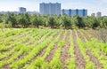 Seedbeds in urban garden