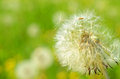 Seeded dandelion head Royalty Free Stock Photo